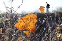 Fall orange poplar leaf in backlighting on the background of wasteland and male silhouette. Fall orange poplar leaf in backlighting on the background of dry Royalty Free Stock Photography