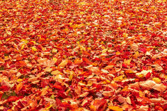 Fall orange and red autumn leaves on ground. For background or backdrop Royalty Free Stock Photography