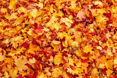 Fall orange and red autumn leaves on ground. For background or backdrop Stock Photos