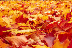Fall orange and red autumn leaves on ground. For background or backdrop Stock Images