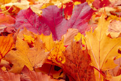 Fall orange and red autumn leaves on ground. For background or backdrop Royalty Free Stock Image