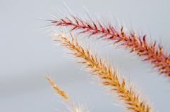 Fall ornamental grass Stock Image