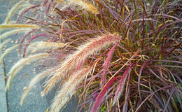 Fall Ornamental Grass Stock Photos