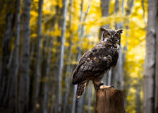The Owl in the autumn forest. Stock Photos