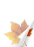 Fall Page. Turning page of transparent sheet of paper showing a Fall leaf