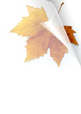 Fall Page. Turning page of transparent sheet of paper showing a Fall leaf Royalty Free Stock Images