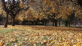 Fall park scenery with strong wind blowing leaves stock footage