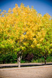 Fall in the park. Yellow leaves on the trees in the park Royalty Free Stock Photo