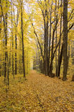 Fall Path. A fall path lines with woods changing colors.  Path is leaf covered and main color overall is yellow Royalty Free Stock Images