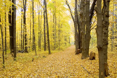 Fall Path, Horizontal. A horizontal view of a walking path in the fall.  leaf color is yellow, path is completely covered with fallen leaves Royalty Free Stock Photography