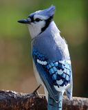 Fall Perching Blue Jay Royalty Free Stock Photography