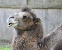 Bactrian Camel. This is a Fall picture of a Bactrian Camel at the Potter Park Zoo located in Lansing, Michigan in Ingham County.The Bactrian Camel has two large Royalty Free Stock Image