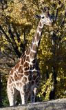 Lincoln Park Zoo Baringo Giraffe. This is a Fall picture of a Baringo Giraffe in its enclosure at the Lincoln Park Zoo in Chicago, Illinois in Cook County.  The Royalty Free Stock Photo