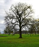 A Deciduous Tree. This is a Fall picture of a deciduous tree that has shed most of its leaves in preparation for a Winter in Lincoln Park located in Chicago stock image