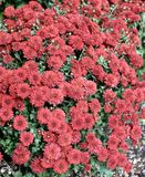 Red Mums. This is a Fall picture of a garden of Red Mums in arious states of bloom along Illinois Avenue located in Chicago, Illinois in Cook County. This royalty free stock photo