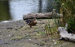 A Mallar Duck royalty free stock photography