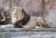 Sahar, King of the Zoo. This is a Fall picture of Sahar a seven year old male African Lion in his habitat at the Lincoln Park Zoo located in Chicago, Illinois in Royalty Free Stock Photography