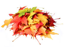 Fall. Pile of colored maple leafs isolated Stock Images