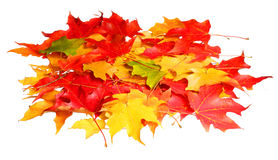 Fall. Pile of colored maple leafs isolated Royalty Free Stock Image