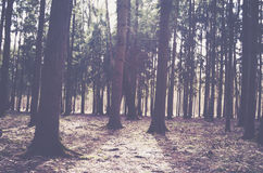 Fall pine trees forest in the morning. Time Royalty Free Stock Photography