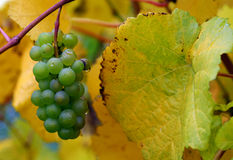 Fall-Pinot- Gristrauben Stockfotos