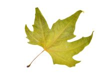 Fall platanus orientalis leaf Royalty Free Stock Photo