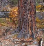 Fall Ponderosa. Ponderosa pine along Tumalo Creek in Shevlin Park - near Bend, OR Royalty Free Stock Photography