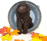 Fall Poodle Stock Photos