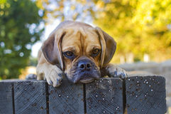 Fall Puggle Stock Images