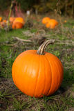 Fall Pumpkin in Field Stock Photo
