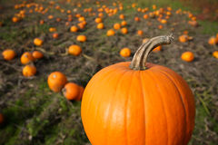 Fall Pumpkin in Field Stock Photography