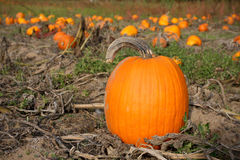 Fall Pumpkin in Field Royalty Free Stock Images