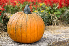 A Fall Pumpkin and flowers Stock Image