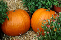 Fall Pumpkins. Pumpkins and mums on hay bales at the farmers market royalty free stock photos