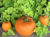 Fall pumpkins Royalty Free Stock Photos