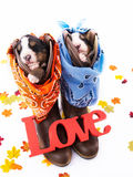 Fall Puppies Stock Image