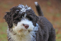 Fall Puppy Royalty Free Stock Images