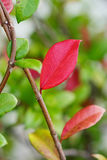 Fall red leaf with green leaf Royalty Free Stock Image
