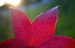 Fall red leaf. In the sun rays royalty free stock photo