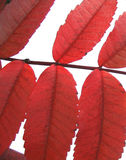 Fall red leaves -isolated. Red fall leaves on white Stock Photo
