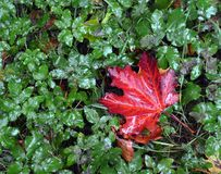 Fall. A red maple leaf on a grass in the rain Stock Photography