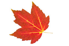 Fall red maple leaf isolated. Autumn red maple leaf with yellow veins isolated on white royalty free stock images