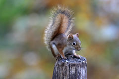 Fall Red Squirrel stock photos