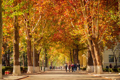 Fall road scene in college. Of china royalty free stock photography