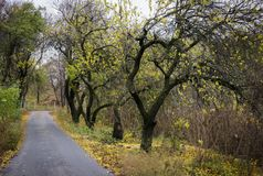 Fall road with trees. Which turned to the right side Royalty Free Stock Image