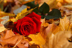 Fall rose Stock Image
