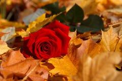 Fall rose Stock Image