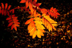 Fall rowan leaves. Horizontal shot of rowan autumnal leaves Royalty Free Stock Image