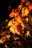 Fall rowan leaves 2 Royalty Free Stock Image