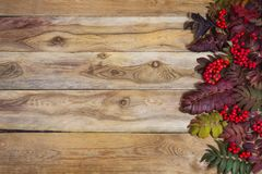 Fall rowan leaves and red berries on wooden background, copy spa Royalty Free Stock Images